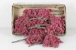 Pepperberry-bosje-grootverpakking-x15