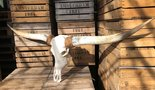 Longhorn-gebleekt-26