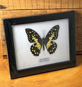 Vlinder Lime Butterfly