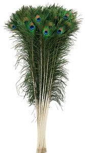 Pauwenveren 70-80 cm